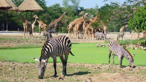 safari world in Bangkok zebra
