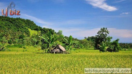 HuaHin rice field