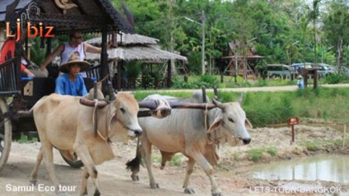 Samui safari ox cart