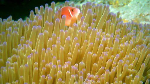 koh tan Sea anemone