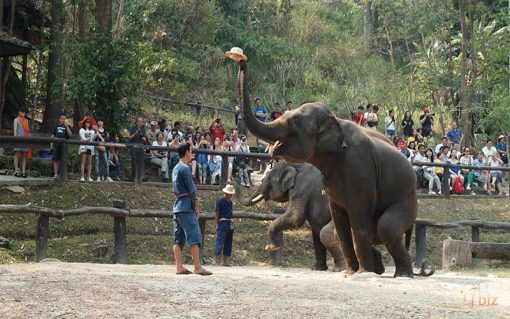 elephant Show Maesa