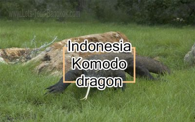 Komodo dragon Guide
