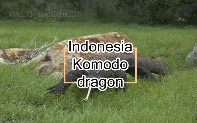 Komodo dragon Guide