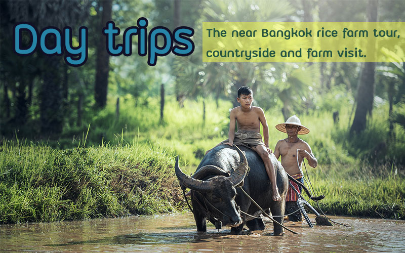 The near Bangkok rice farm tour  , countryside and farm visit