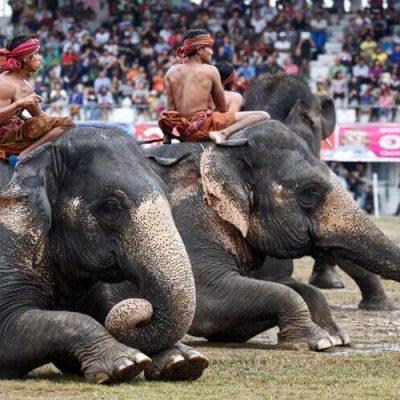 PXR surin elephant round up festival