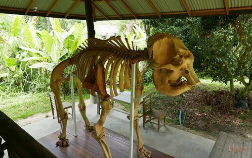 Chiang mai elephant care , skeleton